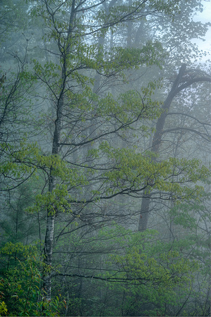 Trees in Morning Mist, Red River Gorge, Daniel Boone National Forest, Kentucky