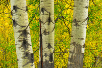 Aspen Trio, Bow Valley Parkway, Banff National Park, Alberta