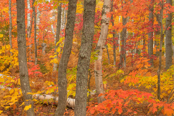 """Gold-Tinged Forest,"" White Birch Forest, Pictured Rocks National Lakeshore, Michigan"