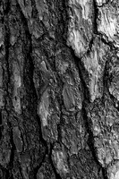 Conifer Trunk Detail Black & White, Auxier Ridge Trail, Red River Gorge, Daniel Boone National Forest, Kentucky
