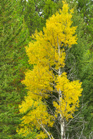 Aspen Isolate, Bow Valley Parkway, Banff National Park, Alberta