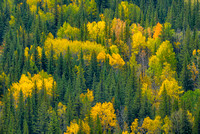 Aspens and Conifers from the Muleshoe Trail, Banff National Park, Alberta