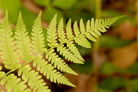 Fern, Crowder's Mountain State Park, North Carolina