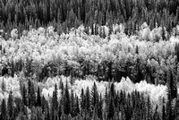 Aspens and Conifers from the Muleshoe Trail Black & White, Banff National Park, Alberta