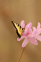 Swallowtail Butterfly & Azalea, King's Mountain State Park, South Carolina