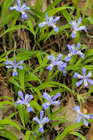 Crested Dwarf Iris Cluster, Red River Gorge, Daniel Boone National Forest, Kentucky