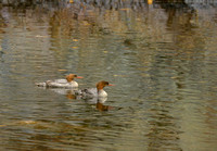 Mergansers, Small Falls, Franklin County, Maine
