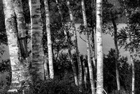 Birches Black & White, Kennebec River Valley, Somerset County, Maine