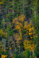 Forest Intimate from Elephant Head, Crawford Notch, White Mountain National Forest, New Hampshire