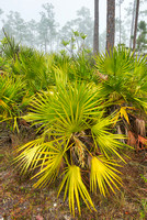 Palmetto Forest, Long Pine Key, Everglades National Park, Florida