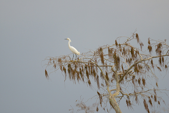 Snowy Egret, Everglades National Park, Florida