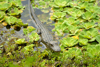 Baby Alligator, Riverbend Park, Palm Beach County, Florida