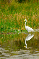 Great Egret, Riverbend Park, Palm Beach County, Florida