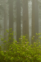 Redwoods & Rhododendrons in Fog, Del Norte Coast Redwoods State Park, California