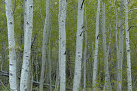 Aspen Trunks,Silver Lake, June Lake Loop, Inyo National Forest, California