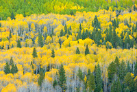 Aspens & Conifers, County Road 5, Uncompahgre National Forest, Colorado