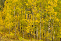 Aspens Intimate, Kebler Pass, Gunnison National Forest, Colorado