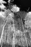 Aspen Trunks Black & White, Sunshine Campground, Uncompahgre National Forest, Colorado