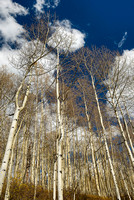 Aspen Trunks, Sunshine Campground, Uncompahgre National Forest, Colorado