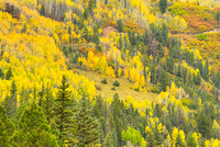 Aspens & Conifers, Uncompahgre National Forest, Colorado