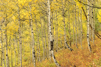 Aspen Forest, Ohio Pass, Gunnison National Forest, Colorado