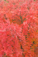 Red Maple, LaGrange County, Indiana