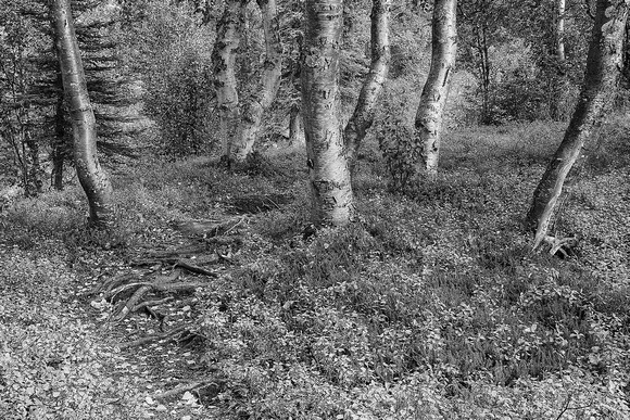 Birch Trunks Black & White, Ermine Hill Trail, Denali State Park, Alaska