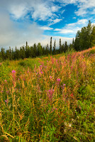 Fireweed Fall, George Parks Highway, Denali Borough, Alaska