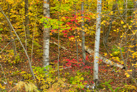 White Birch Forest, Pictured Rocks National Lakeshore, Michigan