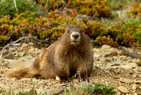 Marmot, Obstruction Point Road, Olympic National Park, Washington