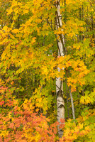 Birch in Autumn Dress, Council Lake, Hiawatha National Forest, Michigan
