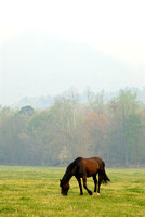 Lone Horse, Cades Cove, Great Smoky Mountains National Park, Tennessee