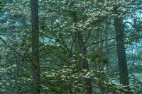 Dogwoods in Mist #2, Red River Gorge, Daniel Boone National Forest, Kentucky
