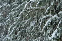 Snowy Conifers, Eagle Creek Park, Marion County, Indiana