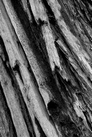 Redwood Trunk Black & White, Coastal Trail, Del Norte Coast Redwoods State Park, California