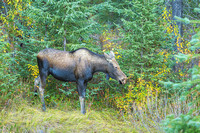 Mama Moose, Maligne Lake Road, Jasper National Park, Alberta