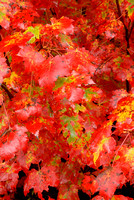 Red Maple Leaves, Halfmoon Lake, Hiawatha National Forest, Michigan