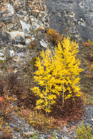 Aspen Isolates, Icefields Parkway, Banff National Park, Alberta