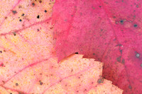 Autumn Leaves Closeup, Pendleton Point, Blackwater Falls State Park, West Virginia