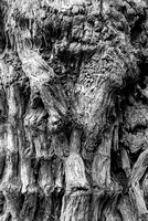 Redwood Trunk Closeup Black & White, Stout Grove, Jedediah Smith Redwoods State Park, California