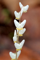 Dutchman's Breeches, Ft. Harrison State Park, Indiana