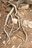Tree Roots, Sunwapta River Canyon, Jasper National Park, Alberta
