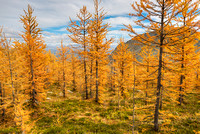 Larch Forest #1, Saddleback Pass, Banff National Park, Alberta