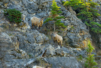 Bighorn Sheep, Jasper National Park, Alberta