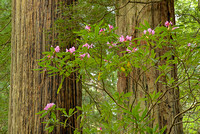 Rhododendrons, Damnation Creek Trail, Del Norte Coast Redwoods State Park, California