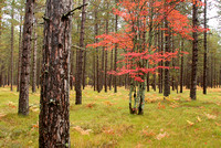 Red Maple Amid Pines, George Washington Forest, Hiawatha National Forest, Michigan