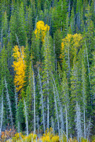 Aspens & Conifers, Edna Lake, Jasper National Park, Alberta