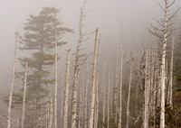 Trees in Fog, Clingman's Dome, Great Smoky Mountains National Park, Tennessee