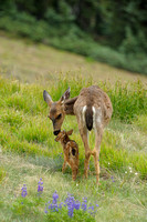Columbia Black-tailed Doe & Fawn, Hurricane Ridge, Olympic National Park, Washington