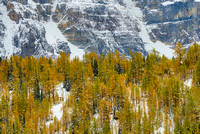 Larches in Snow, Larch Valley, Banff National Park, Alberta